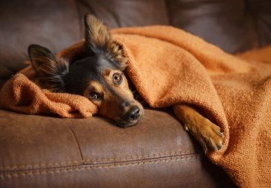 Köpeklerde Çene Titremesi Nedenleri