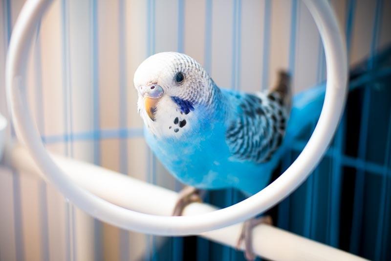 Kuşlarda Bit ve Pireler! İnsanlara Bulaşır mı?