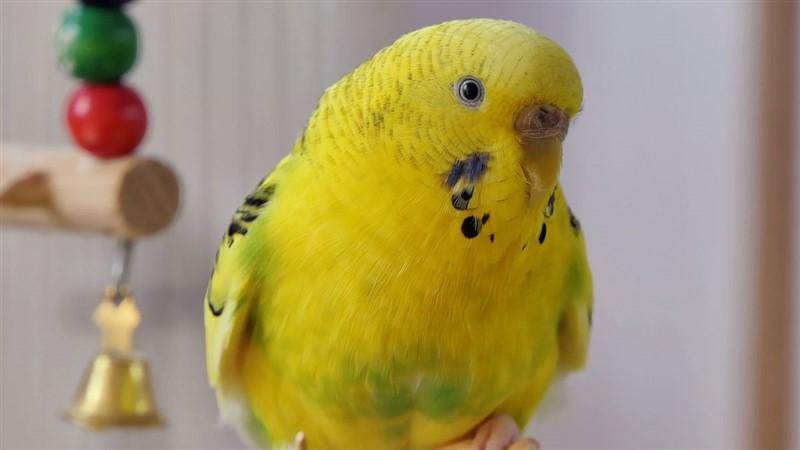 Muhabbet Kuşlarında Depresyon Belirtileri ve Tedavisi