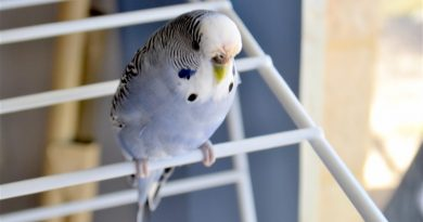 Muhabbet Kuşlarında Mantar Belirtileri ve Tedavisi