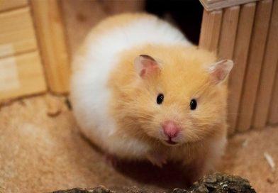 Suriye Hamsteri (Syrian Hamster) Özellikleri ve Bakımı